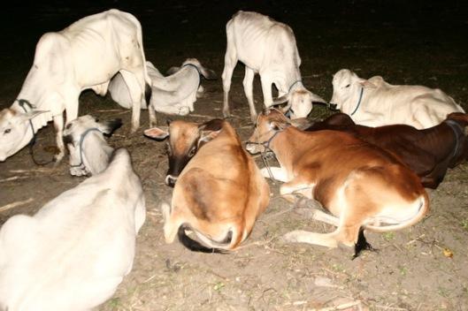 sapi sedang rapat bulanan